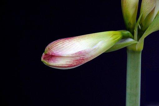 Amaryllis, Blossom, Bloom, Yellow, Shine, Light, Macro