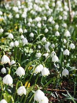 Snowflake, Flowers, Close, Detail, Macro, Calyx, Spring