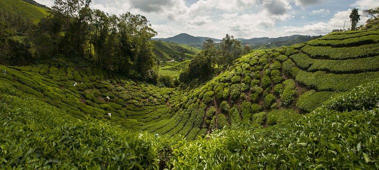 Tea Plantation, Cameron Highlands, Malaysia, Asia