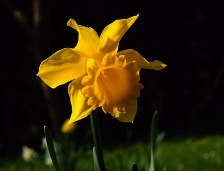 Narcissus, Blossom, Bloom, Yellow, Daffodil, Spring