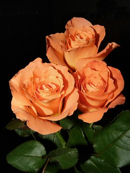 Flower, Rose, Flowers, Plant, Flowering, Nature