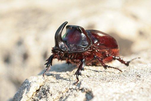 Rhinoceros Beetle, Beetle, Oryctes Nasicornis, Aphid