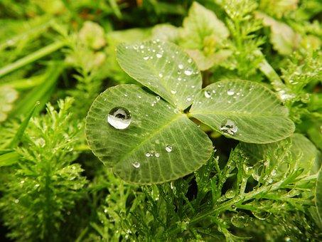 Cloverleaf, Drop, Rain, Rainy Weather, Raindrop