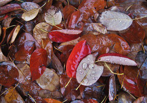 Wet Leaves, Fall Foliage, Raindrop, Fall Leaves, Leaves