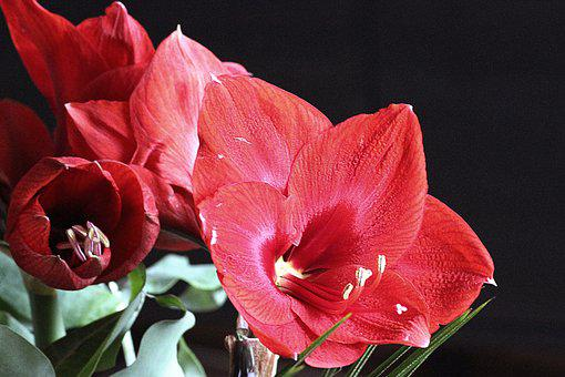 Amaryllis, Blossom, Bloom, Red, Flower, Early