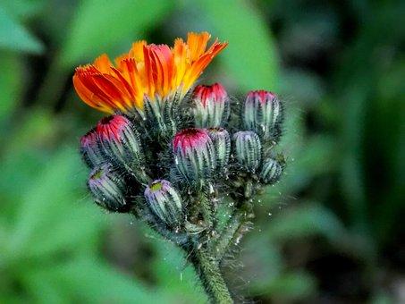 Hawkweed, Composites, Red Orange Hawkweed, Blossom