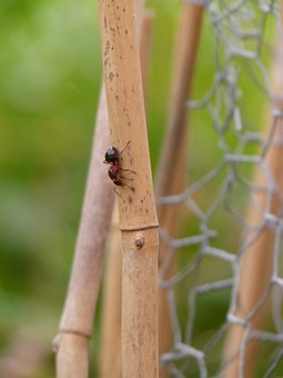 Forest Ant Queen, Wood Ant, Ant, Nature, Red Wood Ant