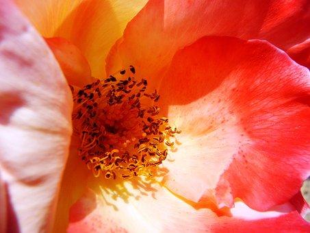 Rose Heart, Interior Of Rose, Macro, Pink, Rosebush