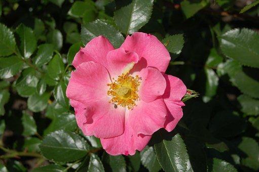 Rose Unicef, Color Pink, Flower, Rosebush