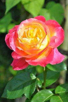 Flower, Pink, Pink Flowers, Rosebush, Red, Red Roses