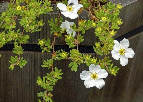 Abbotswood Potentilla, Blossom, Dwarf, Shrub