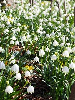 Snowflake, Flowers, Spring, Spring Flower
