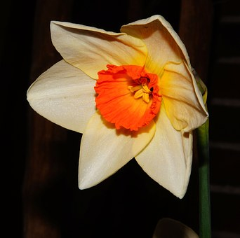 Narcissus, Blossom, Bloom, White, Red, Daffodil, Spring