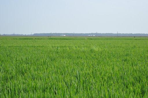Paddy Fields, Rice, Thailand, Green, Golf Club