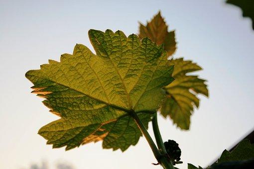 Vine, Grape, Leaves, Veins, Green-gold, Stalks
