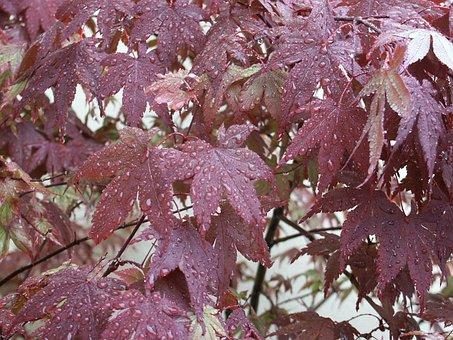 Dew, Water, Sheet, Red, Morning, Blat, Rain, Maple