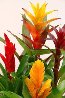 Bromeliads, Guzmania, Red, Yellow, Green, Bromeliaceae