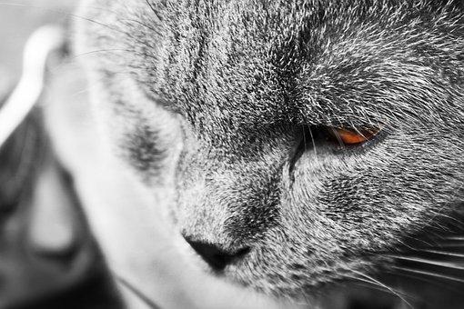 Cat, Tomcat, Gray, Animal, Pet, Cat Face, Mammal, View