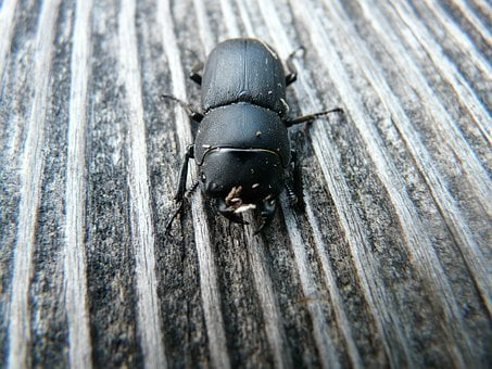 Dorcus Parallelipipedus, Beetle, Schröter, Lucanidae