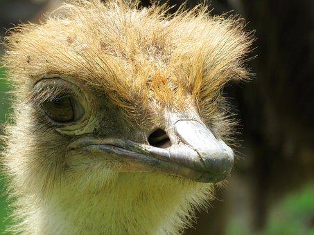 Ostrich, Closeup Of Ostrich, Calgary Zoo, Bird