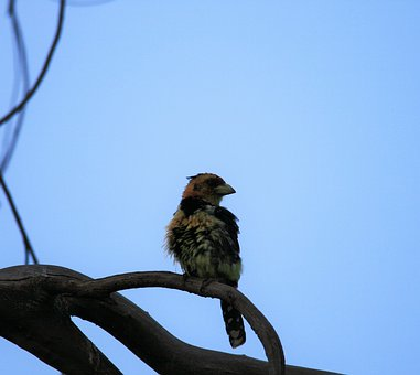 Crested Barbet, Bird, Colorful, Perched, Branch, Sky