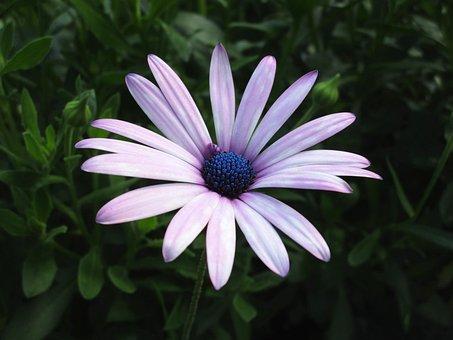 Dimorphoteca Ecklonis, Dimoforteca, Petals, Daisy