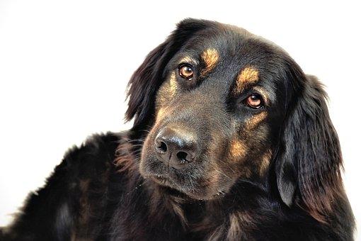 Hovawart Hybrid, Dog, Hundeportrait, Black Dog