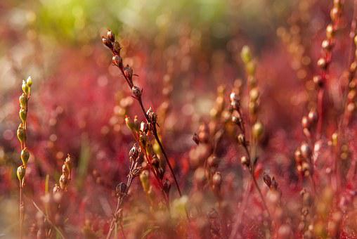 Sundew, Atmosphere, Red, Plant, Nature, Fantasy