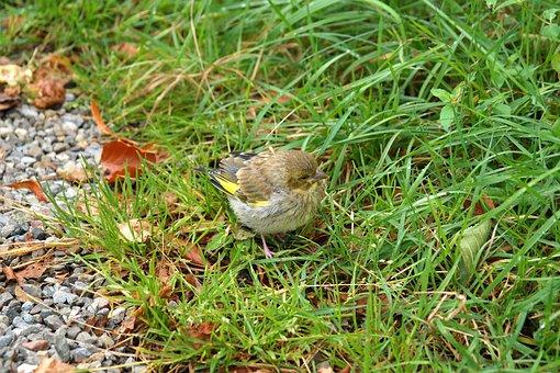 Greenfinch, Bird, Fink, Carduelis Chloris, Songbird