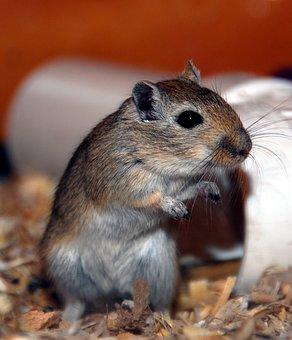 Gerbil, Rodent, Small Animal, Pocket Pet