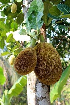 Breadfruit Tree, Fruit, Green, Thailand, Healthy