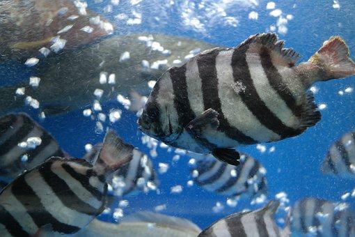 Line Dome Fish, Fish, Line Dome