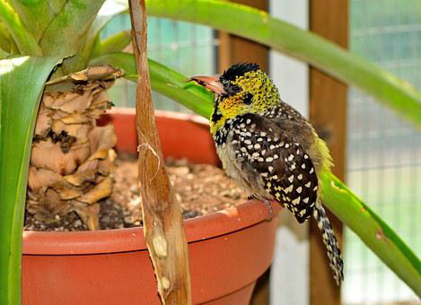 D'arnaud's Barbet, Exotic, Bird, Nature, Wildlife