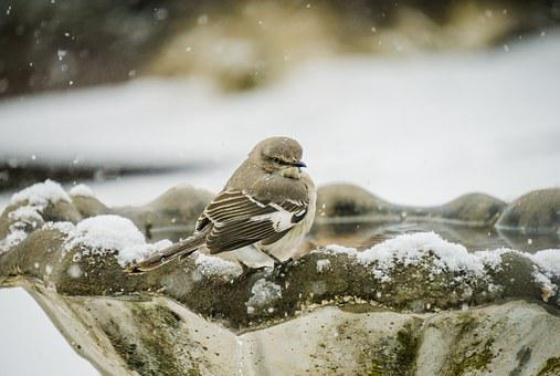 Mockingbird, Bird, Avian, Gray, Natural, Ornithology