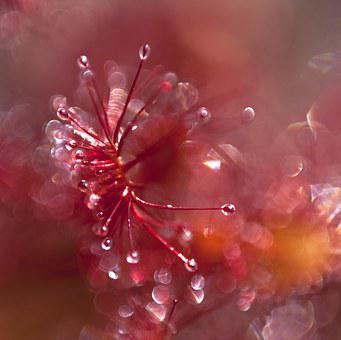 Sundew, Surreal, Atmosphere, Red, Plant, Nature