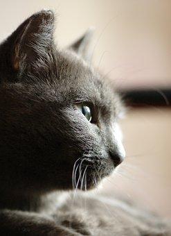 Grey, Cat, Portrait, Profile, Snout