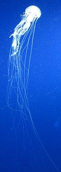 Atlantic, Sea, Nettle, Chrysaora, Quinquecirrha