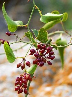 Sarsaparilla, Plant Wildlife, Berries