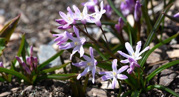 Chionodoxa Luciliae, Snow Shine, Snow Pride, Flower