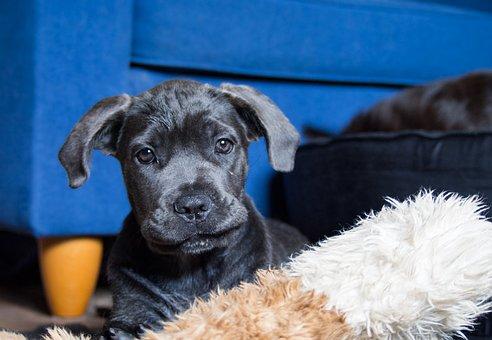 Dog, Puppy, Cane Corso, Pet, Animal, Cute, Animals