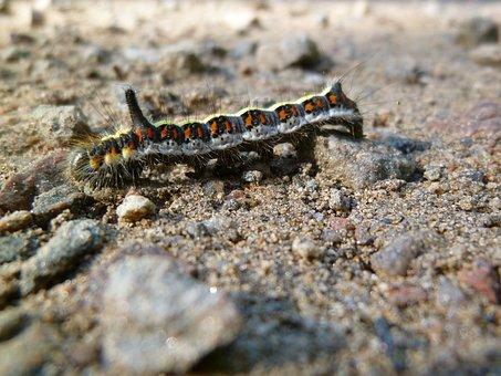 Insect, Caterpillar, Arcronicta Psi, Pfeileule