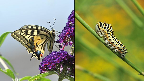 Dovetail, Caterpillar, Butterfly, Close, Garden