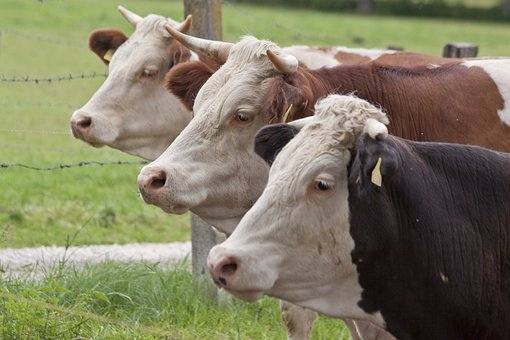 Female Cattle, Cow, Domestic Cattle, Beef, Cattle