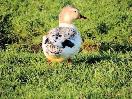 Duck, Bird, Lovely, Animal, Wild, Cute, Icon, Feather