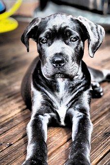 Dog, Puppy, Pet, Animal, Cute, Cane Corso, Animals