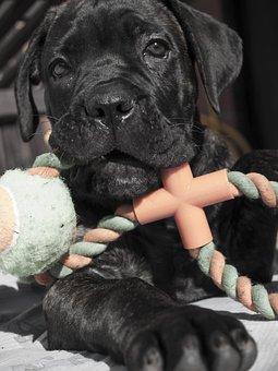 Puppy, Animal, Animals, Dog, Cane Corso