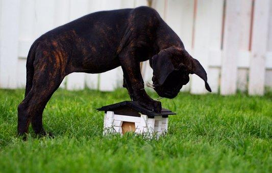 Puppy, Dog, Cane, Corso, Cute, Pet, Animals, Summer