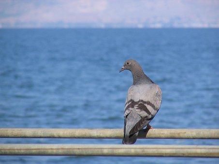 Dove, Bird, Lake, See Of Galilee