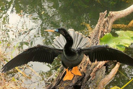 Anhinga, Bird, Fly, Wings, Feather, Wildlife, Beak