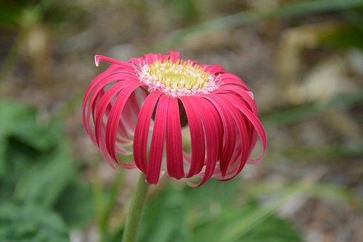 Gerbera, Flower, Spring, Nature, Colorful, Macro, Bloom